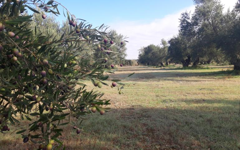 Sustainability and Precision Agriculture in our olive grove